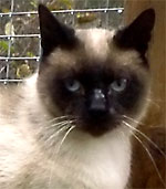 Coho, a beautiful seal-point Siamese male cat