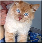 Lucky is an orange tabby with blue eyes.