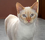 Tobias is a flame-point Siamese mix cat.